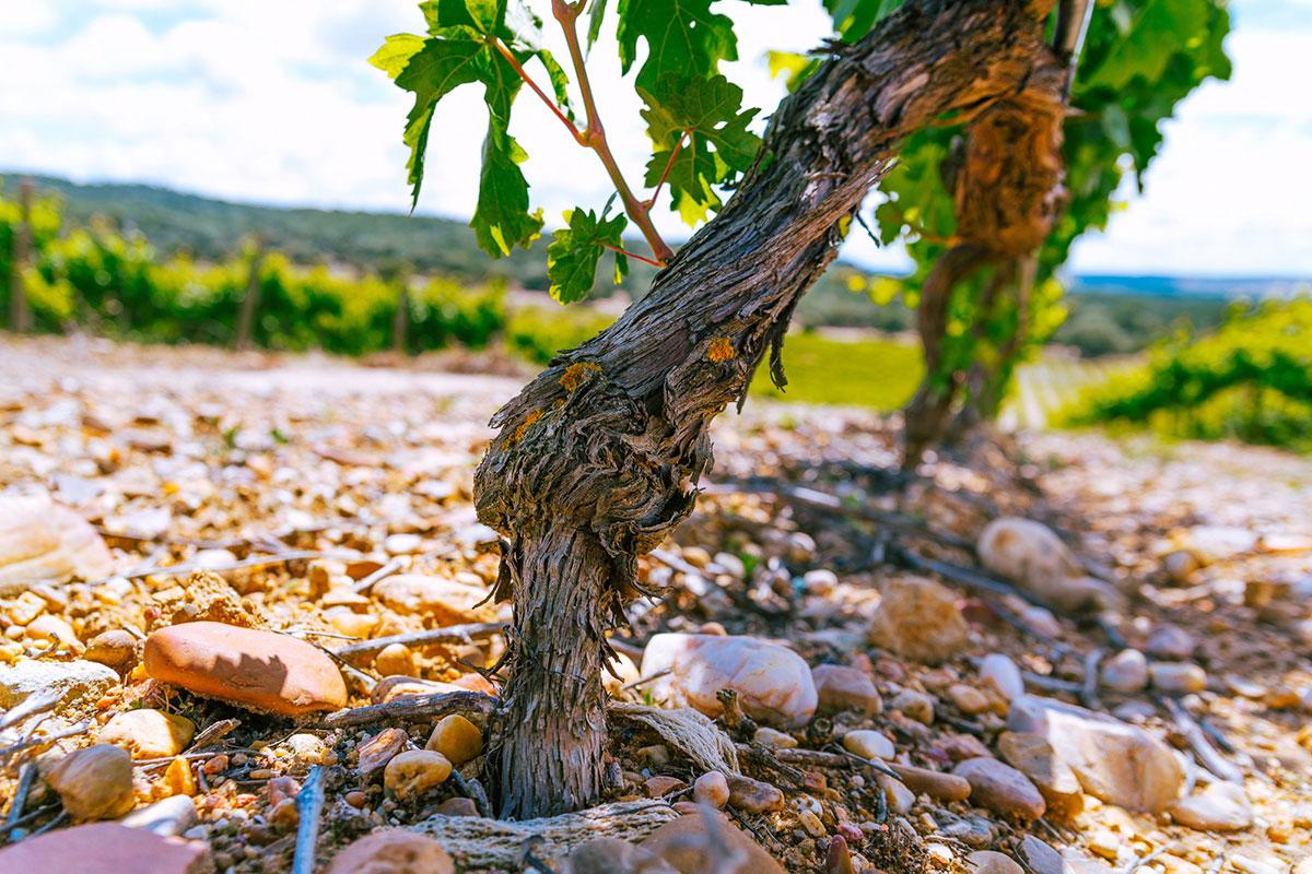 Uvas y viñedos Monte la Reina